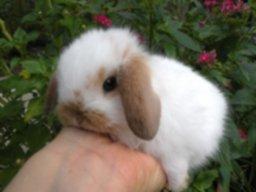 venta-por-mayor-de-conejos-enanos-lop-y-leon-D_NQ_NP_602723-MPE27008130269_032018-F.jpg